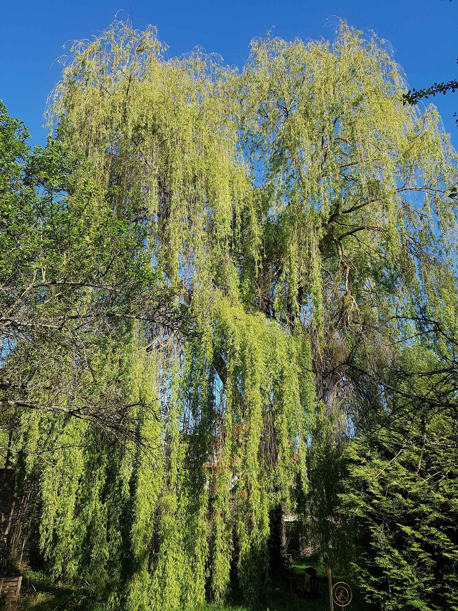 Saule pleureur s a r l des tailles d 39 arbres - Comment tailler un saule pleureur ...